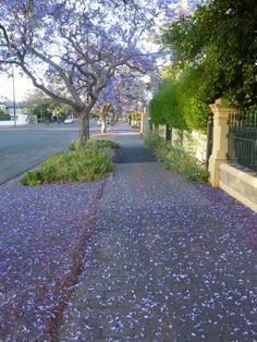 Jacarandas in Unley Adelaide Adelaide Cbd, South Australia, The Neighbourhood, Sidewalk, Gardening, Autumn, City, Places, Jacaranda Trees