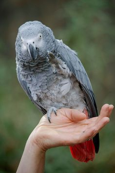 Congo African Grey Parrot. Parakeets, Parrots, Big And Beautiful, Beautiful Birds, Piggy Back Ride, Mastiff Mix, African Grey Parrot, Kinds Of Birds, Big Bird