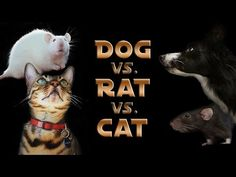 Three years after Nana the Border Collie and Kaiser the Bengal cat went head-to-head in a contest of skill, the two remarkable animals again put their talents to the test when they faced two rats n. Zoo Animals, Animals And Pets, Funny Animals, Cute Animals, Animal Funnies, Cat In Heat, Cat With Blue Eyes, Owning A Cat, Dog Crafts