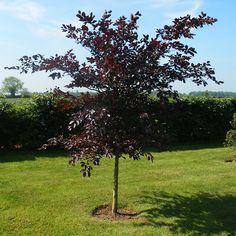 copper beech | Fagus sylvatica purpurea - Copper Beech Plants | Trees and Hedging