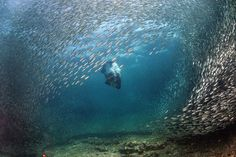 In unison: The sardines swim in their thousands around a diver creating a wave like shape in the sea near the small Pescador Island in the Philippines Stunning Photography, Fauna, The Life, Underwater, Philippines, Cool Photos, Waves, Swimming, The Incredibles