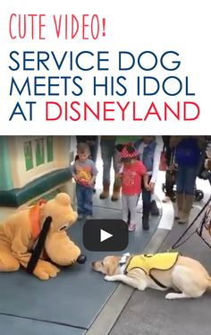 Awee! You certainly can't blame Ace for getting this excited at Disneyland! #guidedogs #servicedogs #disney