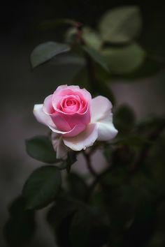 Rose by Jackie Sajewski - Flores Beautiful Rose Flowers, Beautiful Flowers Wallpapers, Beautiful Nature Wallpaper, Flowers Nature, Amazing Flowers, Pretty Flowers, Pink Flowers, Flower Background Wallpaper, Flower Phone Wallpaper