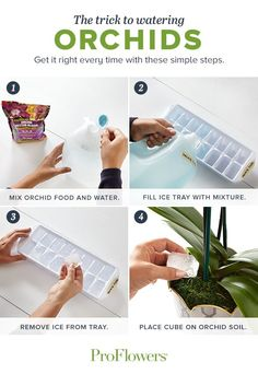 Try this brilliant watering tip once per week to make sure your orchid gets the perfect amount of water. Click to see our video for more Orchid care tips and tricks.