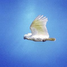 Sulphur Crested Cockatoo in Flight, Royal Botanic Gardens, Sydney, Australia Cockatoo, Blue Mountain, Sydney Australia, Botanical Gardens, Melbourne, Vacation, Photos, Instagram, Pictures
