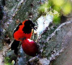Foto corrupião (Icterus jamacaii) por Camilo Oliveira   Wiki Aves - A Enciclopédia das Aves do Brasil