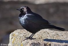 Brewer's+Blackbird | This photo of a male Brewer's Blackbird was taken on December 18th ...