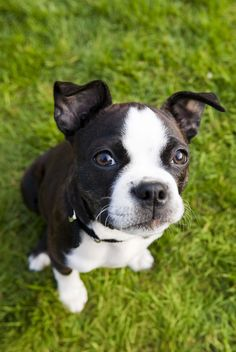 """Check out our website for even more information on """"boston terrier puppies"""". It is an excellent place to read more. Pitbull Terrier, Brindle Boston Terrier, Terrier Puppies, Boston Terriers, Boston Terrier Love, Best Dog Breeds, Puppy Breeds, Best Apartment Dogs, Apartment Dog Breeds"""