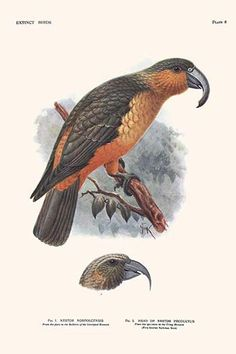 Ara D Hispaniola Ara Tricolor Birds Pinterest