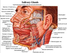 Digestive system glands in association with the oral cavity. T submandibular, parotid, and sublingual salivary glands secrete saliva. Human Body Anatomy, Human Anatomy And Physiology, Salivary Gland Infection, Parotid Gland, Human Body Organs, Anatomy Images, Facial Nerve, Muscle And Nerve, Biology Lessons