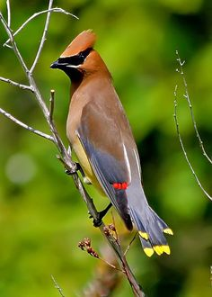 Cedar Waxwing HOW TO ATTRACT ME TO YOUR HABITAT: Plant Common Hackberry Tree, which also attracts Morning Cloak Butterflies, and California Coffeeberry Shrub, which also attracts Robins.
