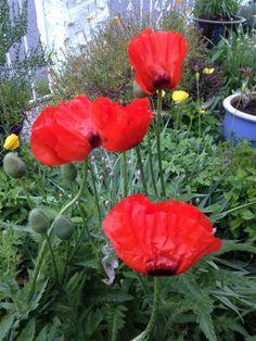 Orientvalmue - fantastisk blikkfang i hagen med sin strålende farge / Oriental poppies <3<3 A wonderful eye catcher in the garden with the wonderful color!! 5.6.14/IJ