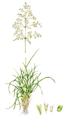 Tufted hair grass Deschampsia caespitosa copyright www.lizzieharper.co.uk Botanical Art, Botanical Illustration, Cold Treatment, Infused Water Bottle, Wheat Grass, Fitness Gifts, Refreshing Drinks, Botany, Something To Do