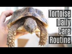 Russian Tortoise Diet Guide / Helpful Tips And Tricks Red Footed Tortoise, Baby Tortoise, Sulcata Tortoise, Tortoise Care, Tortoise Turtle, Tortoise Habitat, Turtle Habitat, Kawaii Turtle, Tortoise Enclosure