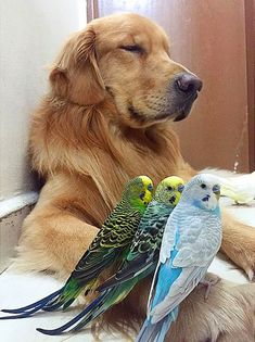 A Golden Retriever, 8 Birds And A Little Hamster Are The Most Unusual Best Friends Ever Animals And Pets, Baby Animals, Funny Animals, Cute Animals, I Love Dogs, Cute Dogs, Hamsters As Pets, Golden Retriever, Tier Fotos