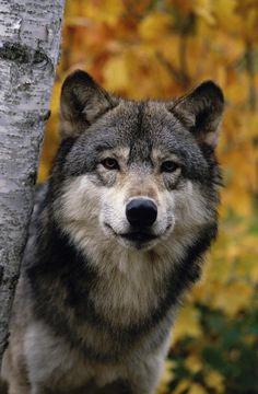 Wolf Photos, Wolf Pictures, Owen Wolf, Wolf World, Wolf Artwork, Wolf Spirit Animal, Wolf Wallpaper, Wolf Love, Wild Wolf