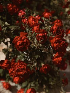 Red roses by Cocorrina