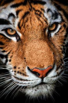 Amazing wildlife. Tiger photo