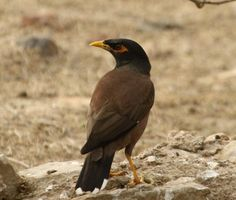 Common Myna-Birds Image Site also offer free download of some selected birds animal nature and wildlife HD wallpaper