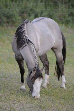 Grulla Horse -- love this coat so much. All The Pretty Horses, Beautiful Horses, Animals Beautiful, Beautiful Things, Grulla Horse, Fjord Horse, Palomino, Appaloosa Horses, Animals And Pets
