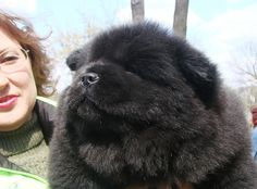 Little chow-chow puppy.  Dog show, Lugansk, Ukraine     . For pet care details visite: www.petcareadvisors.com