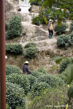 Shifeng tea garden  #teasane