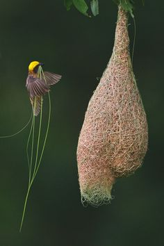 Baya Weaver (Ploceus philippinus) male flying to nest carrying grass (nesting material)/ Singapore
