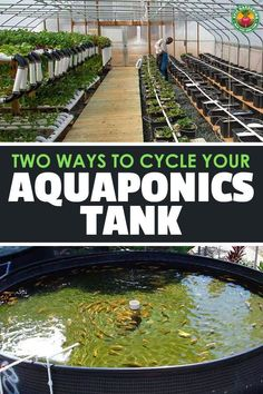 2 Proven Ways to Cycle an Aquaponics Tank Perfectly is part of Aquaponics greenhouse - Cycling a tank for aquaponics can be done with fish, or without fish Find out the difference between the two methods and learn about cycling in general here Aquaponics Greenhouse, Aquaponics Plants, Aquaponics System, Hydroponic Gardening, Organic Gardening, Best Fish For Aquaponics, Diy Greenhouse, Gardening Tips, Fish Farming