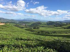 Aberfoyle Tea Estate, Zimbabwe