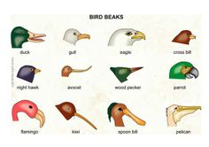 Bird beaks  Investigate how different types of beaks are useful to different birds.