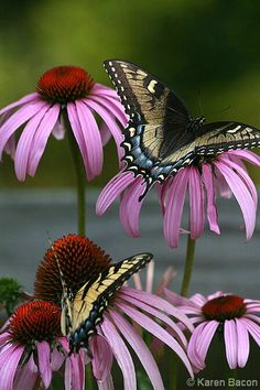~~Butterflies on Echinacea flowers by Karen Bacon Photography~~