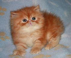 Persian and Himalayan kittens