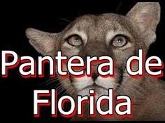 Pantera de Florida en peligro de extinción Adidas Logo, Florida, Logos, Youtube, Logo, A Logo