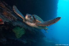 Here's a green turtle (Chelonia mydas) from Cousin's Rock in the Galapagos Islands.
