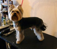 Here are some images that you can get idea about Yorkie Hairstyles or Yorkie Haircuts. As a Toy dog miniature yorkshire terrier can dress up with beautiful Wheaten Terrier, Yorky Terrier, Terrier Dogs, Terrier Mix, Yorkie Teddy Bear Cut, Yorkie Cuts, Teddy Bears, Yorkshire Terrier Haircut, Yorkshire Terrier Puppies