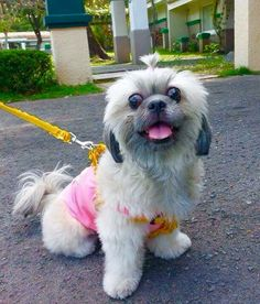 Pretty in pink Shih Tzu, Pretty In Pink, Pepper, Barbie, Dogs, Animals, Animais, Animales, Animaux