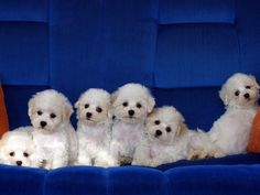 Adorable Bichon Frise Puppies. For more cute puppies, check out our youtube channel: https://www.youtube.com/channel/UCH7efODYtEdnWfAm1eS4NMA