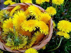 come fare in casa lo sciroppo con i fiori di Tarassaco. ricetta semplice per un rimedio contro tosse e mal di gola. Viene chiamato anche miele di Tarassaco per la sua consistenza molto densa.