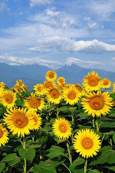 Sunflower Garden, Sunflower Art, Sunflower Fields, Most Beautiful Gardens, Beautiful Flowers, Sunflower Iphone Wallpaper, Sunflowers And Daisies, Growing Sunflowers, Sunflower Pictures