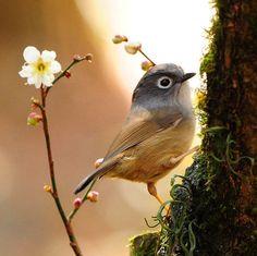 by sushyue liao. 外国のメジロは色違い?でも梅の木に止まる。