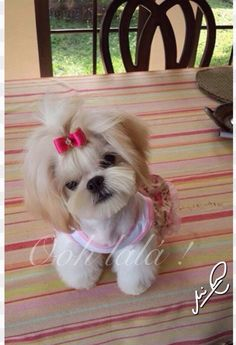 Shih tzu Asian Flair Grooming Groomed by Nicole Rudin