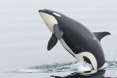 Killer Whale(Orcinus orca)シャチ