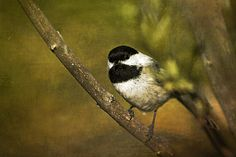 http://fineartamerica.com/featured/chickadee-cindi-ressler.html