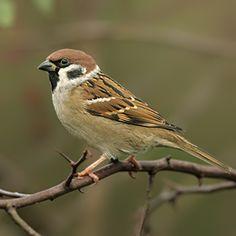 british sparrow - Google Search