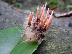 """Codryceps, or """"Zombie Fungus"""" are a parasitic fungus Spores from this killer fungus infect the insect's brain, and, later, the fruiting body of the cordyceps will erupt from that insect's head and body."""