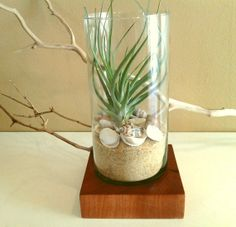 Modern Air plant display in a glass cylinder terrarium on a Custom Solid Mahoghany tree trunk base