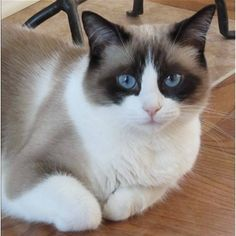 "Snowshoe Cat - Facts about Snowshoe Cats. ""Scientific name for Snowshoe Cat is Felis Catus"". The Snowshoe Cat are named for their beautiful white Snowshoe Kittens, Siamese Kittens, Cats And Kittens, Gatos Ragdoll, Gatos Cats, I Love Cats, Crazy Cats, Cool Cats, Pretty Cats"
