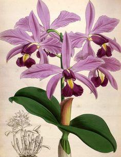 Olímpia Reis Resque: As Orquídeas da Hiléia