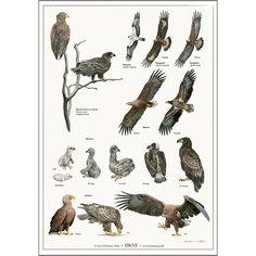 Plakat - Træernes blade fra Koustrup og Co. Botanical Illustration, Prehistoric, Animal Kingdom, Eagles, Cool Cars, Illustrator, Birds, Wallpaper, Prints
