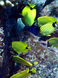 Reef fish molokai hawaii molokai pinterest fish for Hawaii state fish humuhumunukunukuapua a pronunciation